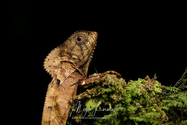 Smoothhead Helmeted Basilisk Juvenile (Corytophanes cristatus) in Costa Rica