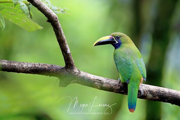 Emerald Toucanet in Costa Rica