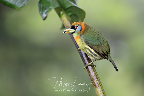Red-headed Barbet (female) in Costa Rica