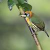Red-headed Barbet (female) in Costa Rica