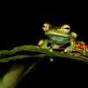 Red-Webbed Tree Frog in Costa Rica (Hypsiboas rufitelus)