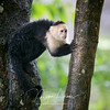 White-headed Capuchin (Cebus capucinus), also known as the White-Faced Capuchin or White-Throated Capuchin, is a medium-sized New World monkey.  This one was photographed in Costa Rica.