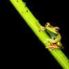 Red-Webbed Tree Frog in Costa Rica (Hypsiboas rufitelus)