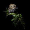 Vermiculated Screech Owl with a dragonfly in Costa Rica