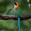 Rufous Motmot (Baryphthengus martii) in Costa Rica