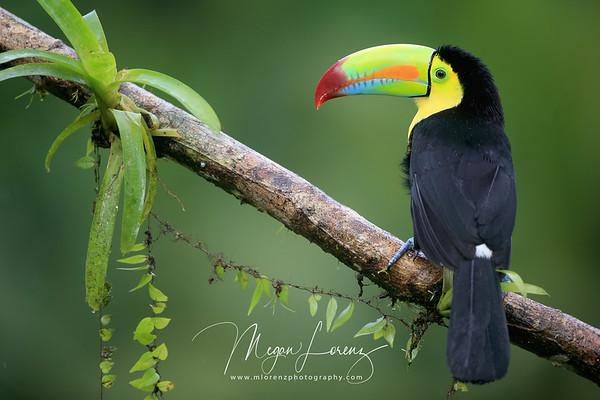 Keel-Billed Toucan in Costa Rica