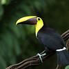 Yellow-Throated Toucan in Costa Rica