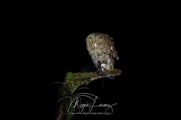 Vermiculated Screech Owl in Costa Rica