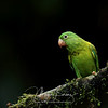 Orange-Chinned Parakeet (Brotogeris jugularis) in Costa Rica