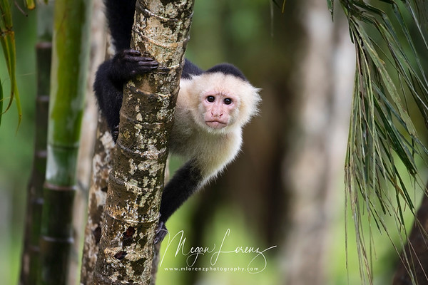 White-faced Capuchin in Costa Rica.