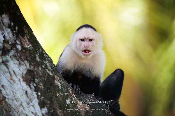 White-Faced Capuchin Monkey in Costa Rica.