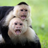 White-Faced Capuchins in Costa Rica.