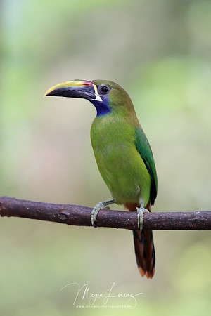 Northern-Emerald Toucanet (Aulacorhynchus prasinus) in Costa Rica.