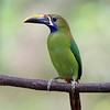 Northern-Emerald Toucanet (Aulacorhynchus prasinus) in Costa Rica.