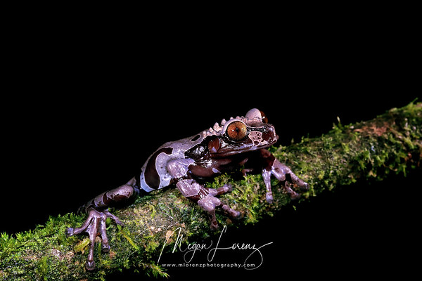 Coronated tree frog in Costa Rica.  These frogs are also known as the spiny-headed tree frog.  <br /> <br /> Coronated tree frogs are an arboreal species. They are rarely seen as they spend their lives in bromeliads and other plants. They are found in in subtropical forests just below mountainous regions. They live in intact forests, but are also common in young, secondary growth forests. They are also sometimes observed to be living in coffee plantations.