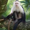 White-Faced Capuchin Monkey in Costa Rica.