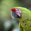 Endangered Great Green Macaw in Costa Rica.