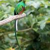 Resplendent Quetzal (Pharomachrus mocinno) in Costa Rica.