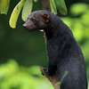 Tayra in Costa Rica.