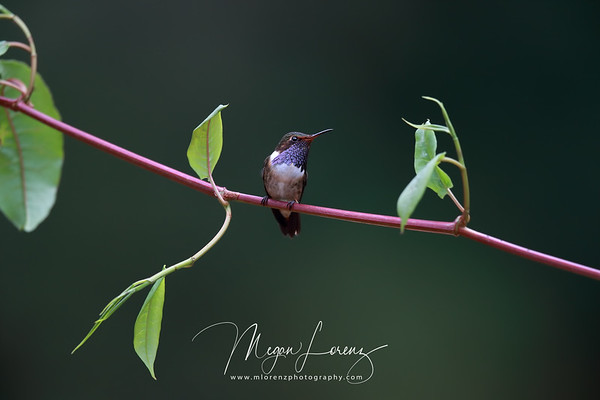 Male Volcano Hummingbird (Selasphorus flammula) in Costa Rica.