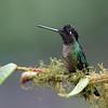 Male Talamanca Hummingbird (Eugenes spectabilis) in Costa Rica.