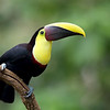 Yellow-Throated Toucan in Costa Rica.