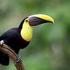 Yellow-Throated Toucan in Costa Rica.