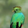 Resplendent Quetzal (Pharomachrus mocinno) in Cerro de la Muerte, Costa Rica.