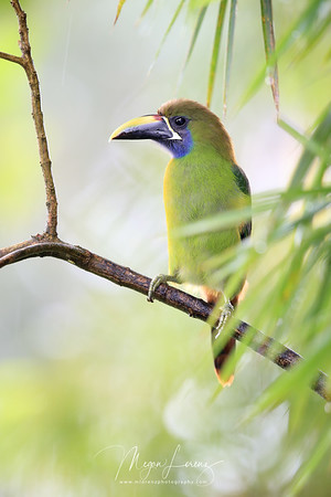 northern-emerald toucanet; emerald toucanet; blue-throated toucanet; aulacorhynchus prasinus; Aulacorhynchus caeruleogularis; bird; avian; toucanet; toucan; nature; wildlife; wild; wild animals; rainforest; travel; costa rica; mlorenz; megan lorenz