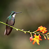 White-throated Mountain-gem (Lampornis castaneoventris) in Costa Rica.