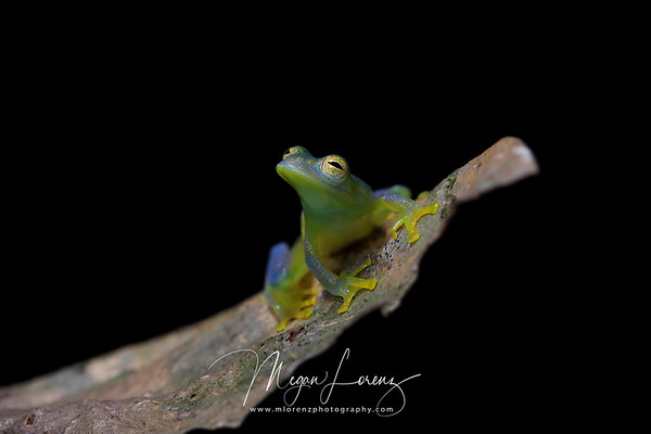 Granular glass frog (Cochranella granulosa) in Costa Rica.