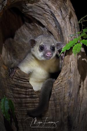 Kinkajou (Potos flavus) in Costa Rica.