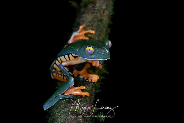 Splendid Leaf Frog in Costa Rica.