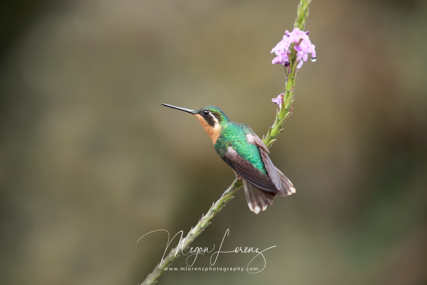 White-throated Mountain-gem (female) in Costa Rica.