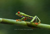 Red-eyed Tree Frog in mist