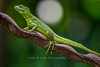 Emerald Basilisk female