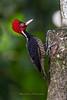 Pale-billed Woodpecker female