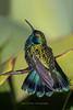 Basking Green Violetear
