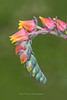 Echeveria elegans bloom