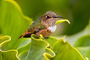 Scintillant Hummingbird female