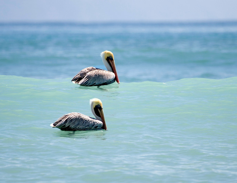 Pelicans floating in the waves of the Pacific Ocean