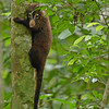 White-nosed coati (Nasua narica) hiding