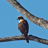 Laughing Falcon, Near pool at nativa