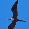 Immature Magnificant Frigatebird
