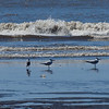 Royal Terns, Tarcoles beach