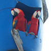Pair of Scarlet Macaws in breeding nest at Nativa