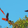 Scarlet Macaws  in almond trees at Tarcoles beach