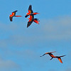 Scarlet Macaws flying to roost
