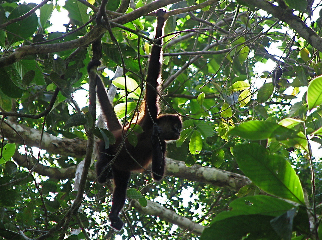 Spider monkey (Ateles geoffroyi), Corcovado National Park, Osa Peninsula, Costa Rica.  Spanish name is Mono colorado.