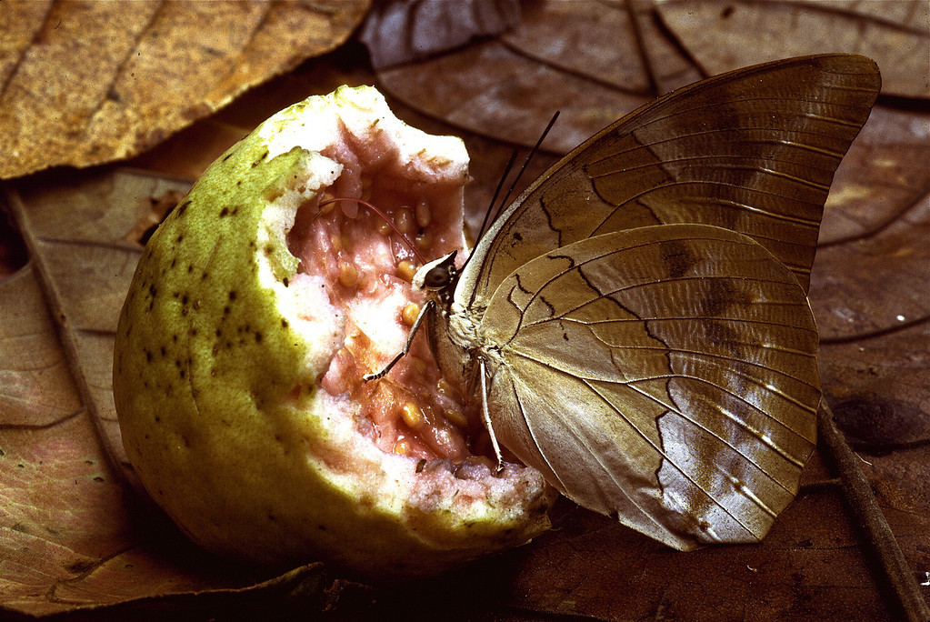 Archaeoprepona demophon butterfly on guava fruit that was half eaten and thrown away by monkeys.